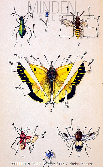 Illustration of an insect setting board typical of the 19th Century in Britain The green beetle is a Green tiger beetle (Cicindela campestris), the yellow butterfly is a clouded Yellow (Colias croesus) Colour plate by W Spry from 'Instructions for Collecting, Rearing, and Preserving British and Foreign Insects' by Abel Ingpen Published by William Smith, London Second edition 1839  -  Paul D Stewart/ npl