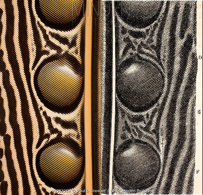 Great Argus Pheasant feather (Argusianus argus) Composite photograph of Argus secondary wing feather left and right Fig 56 Page 143 Vol II of Charles Darwin 'The Descent of Man and Selection in Relation to Sex' 1871 Darwin was fascinated by the detailed perfection of the Argus pheasant's ocelli spots which he considered were unique in resembling balls in sockets The illustration from his book on sexual selection (on the right), compared to a real feather on the left, reveals the accuracy he demanded On page 141 Vol II he notes 'That these ornaments should have been formed through the selection of many successive variations, not one of which was origianlly intended to produce the ball-and-socket effect, seems as incredible, as that one of Raphael's Madonnas should have been formed by the selection of chance daubs of paint made by a long succession of young artists, not one of whom intended at first to draw the human figure'  -  Paul D Stewart/ npl