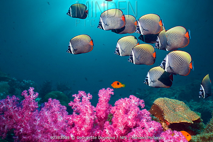 Collared or Redtail butterflyfish (Chaetodon collare) swimming over coral reef with soft corals Andaman Sea, Thailand (Digital composite)  -  Georgette Douwma/ npl