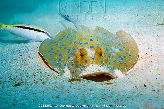 Bluespotted ribbontail ray (Taeniura lymna) digging in the sand for food Egypt, Red Sea  -  Georgette Douwma/ npl