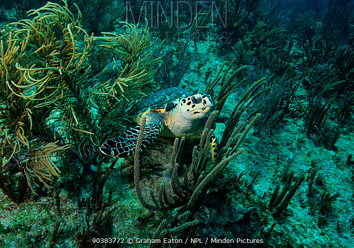 Hawksbill Turtle (Eretmochelys imbricata) on coral reef, Mexico, February  -  Graham Eaton/ npl