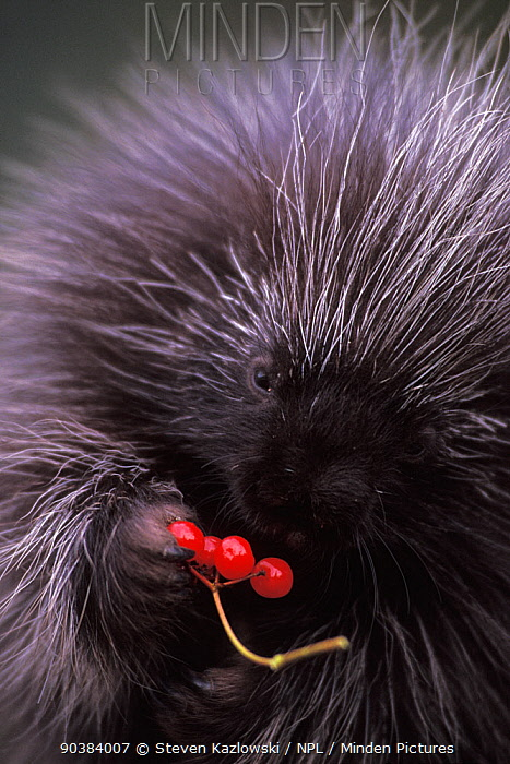 North American porcupine (Erethizon dorsatum) pup feeds on Alaskan high brush cranberries in the foothills of the Takshanuk Mountains, Northern South East Alaska, USA  -  Steven Kazlowski/ npl