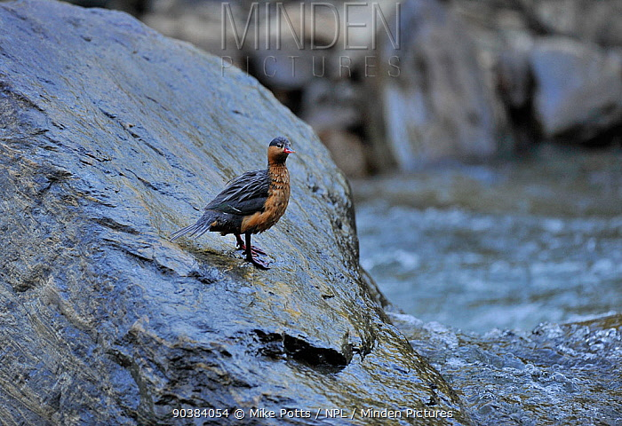 Female Torrent duck (Merganetta armata) Guango River, Ecuador  -  Mike Potts/ npl