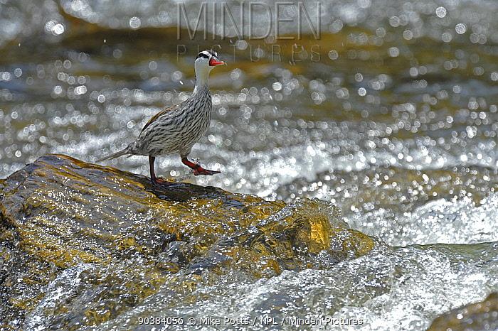 Male Torrent duck (Merganetta armata) along Guango River, Ecuador  -  Mike Potts/ npl