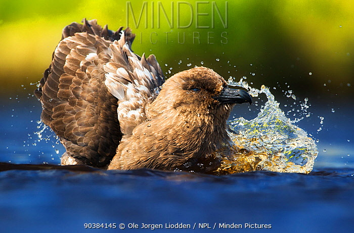 Brown Skua (Stercorarius antarcticus) bathing, Auckland Islands New Zealand November  -  Ole Jorgen Liodden/ npl