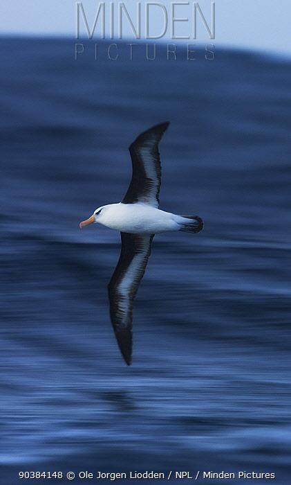 Campbell Albatross (Thalassarche impavida) in flight over ocean, Campbell Island, New Zealand November  -  Ole Jorgen Liodden/ npl