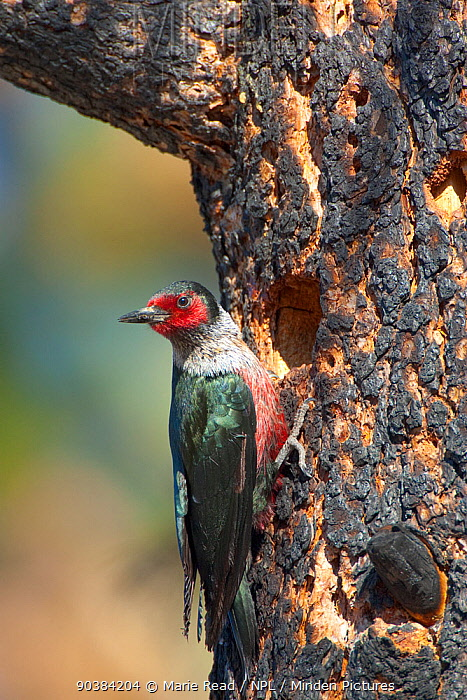 Lewis's Woodpecker (Melanerpes lewis) outside its nest hole in a burned Jeffrey Pine (Pinus jeffreyi), Mono Lake Basin, California, USA, June  -  Marie Read/ npl