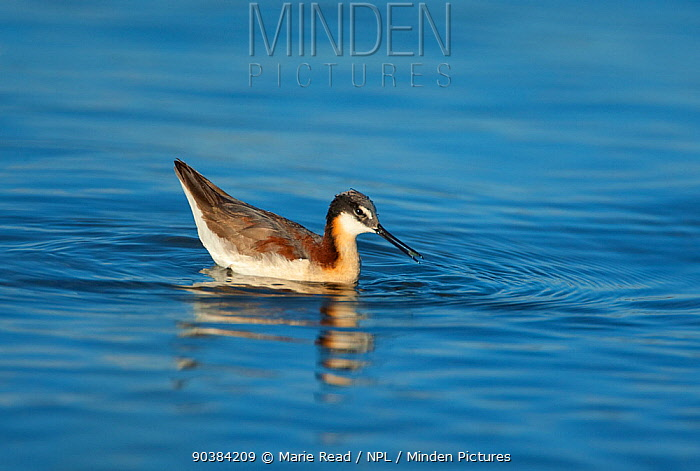 Wilson's Phalarope (Phalaropus tricolor), female feeding by using surface tension of water to pick up small prey item, probably brine shrimp (Artemia monica), while swimming, Mono Lake, California, USA, July  -  Marie Read/ npl
