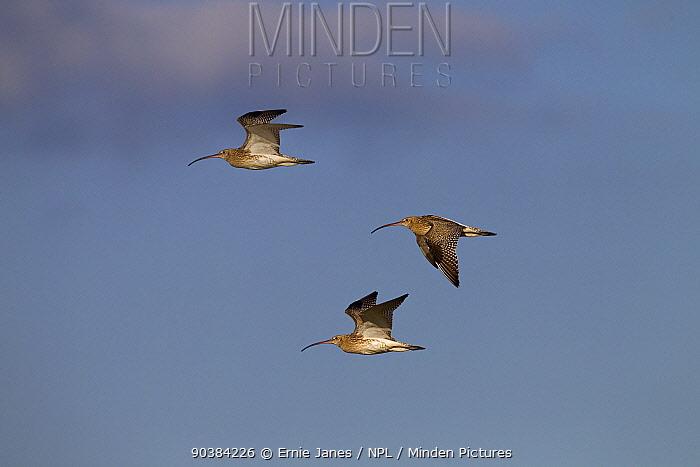 Curlews (Numenius arquata) in flight Salthouse, Norfolk, September  -  Ernie Janes/ npl
