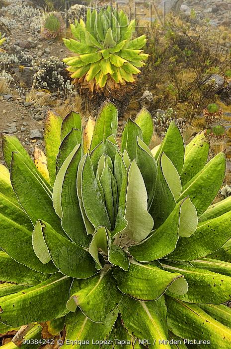 Giant groundsel (Dendrosenecio kilimanjari) plants, endemic to high altitude zones of Kilimanjaro in subalpine forests, Mount Kilimanjaro, Tanzania  -  Enrique Lopez Tapia/ npl