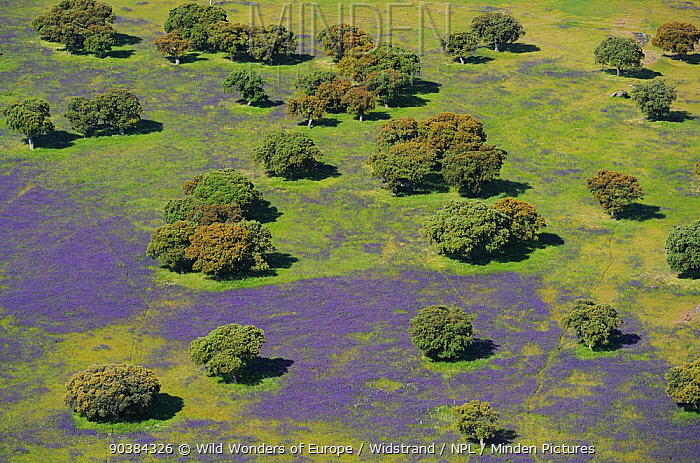 Aerial image of Espiritu Santo area with purple from flowering lavender in dehesa habitat, Salamanca Region, Castilla y Leon, Spain, May 2011  -  WWE/ Widstrand/ npl