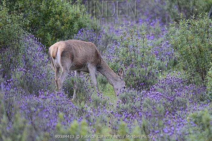 Red Deer (Cervus elaphus hispanicus) juvenile amongst flowering lavender, Extramadura, Spain, May  -  Fabrice Cahez/ npl
