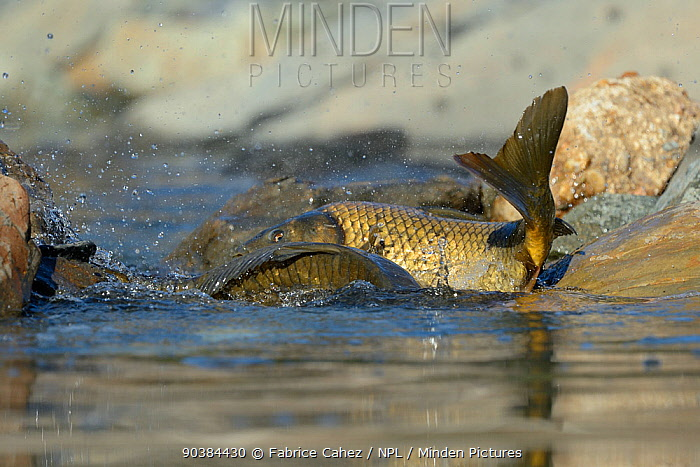 Common Carp (Cyprinus carpio) in shallow water during spawning Extramadure, Spain, May  -  Fabrice Cahez/ npl