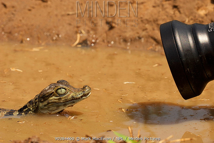 Spectacled Caiman (Caiman crocodilus) juvenile being filmed with an innovision scope, in Hato el Cedral, Los Llanos Apure State in Venezuela  -  Mark MacEwen/ npl