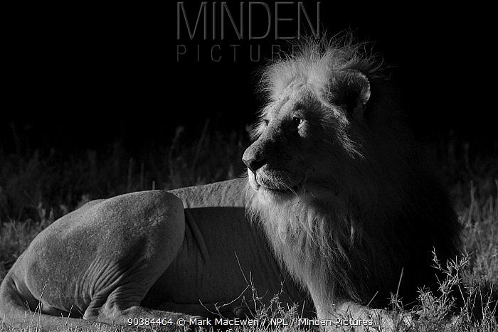 Male Marsh pride lion (Panthera leo) at night, Masai Mara, Kenya, taken with infra-red camera, September  -  Mark MacEwen/ npl