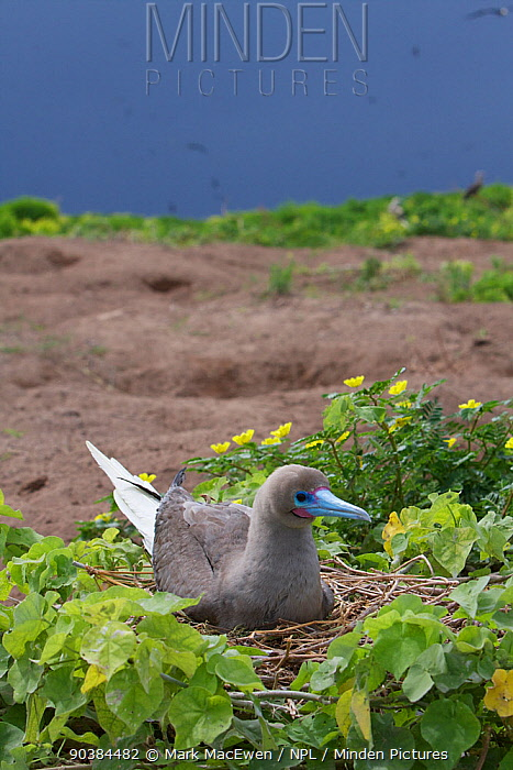 Red-footed Booby (Sula sula) nesting on Raine Island National Park, Great Barrier Reef, Australia  -  Mark MacEwen/ npl