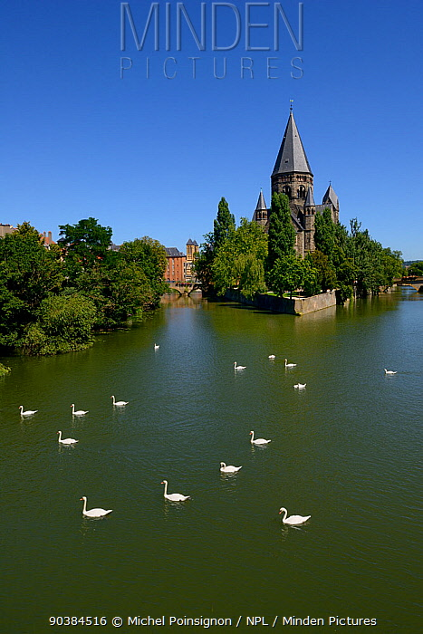Mute Swan (Cygnus olor) on Moselle River by Le Temple Neuf Metz, Lorraine, France  -  Michel Poinsignon/ npl