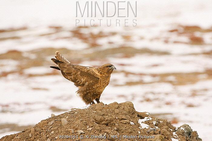 Golden Eagle (Aquila chrysaetos) on groud, Sanjiangyuan, Qinghai, China, Decemeber  -  Xi Zhinong/ npl