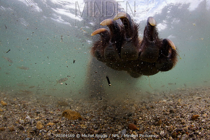 Brown bear (Ursus arctos) paw claws reaching out whilst fishing for Sockeye salmon, Ozernaya River, Kuril Lake, South Kamtchatka Sanctuary, Russia  -  Michel Roggo/ npl