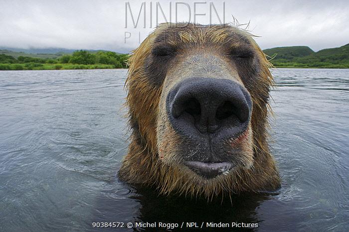 Brown bear (Ursus arctos) portrait in the Ozernaya River, Kuril Lake, South Kamtchatka Sanctuary, Russia  -  Michel Roggo/ npl