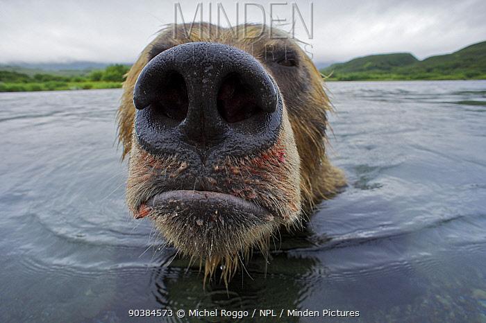 Brown bear (Ursus arctos) portrait in water, the Ozernaya River, Kuril Lake, South Kamtchatka Sanctuary, Russia, August  -  Michel Roggo/ npl