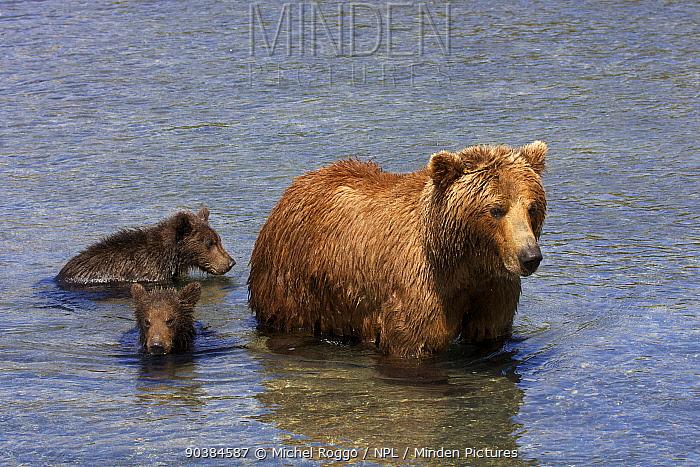 Brown bear (Ursus arctos) with cubs in water, fishing for sockeye salmon in the Ozernaya River, Kuril Lake, South Kamtchatka Sanctuary, Russia, August  -  Michel Roggo/ npl