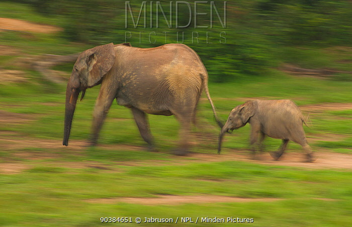 African Forest elephant (Loxodonta africana cyclotis) calf following mother, blurred motion as they visit Dzanga Bai in the early evening, Dzanga-Ndoki National Park, Central African Republic  -  Jabruson/ npl