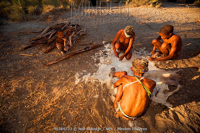 Zu, 'hoasi Bushmen prepare the hide of a goat by removing the hair With restrictions on the animals that they are allowed to hunt, Bushmen communities rely on these animals for food, clothing, quivers for arrows and other uses Kalahari, Botswana April 2012  -  Neil Aldridge/ npl