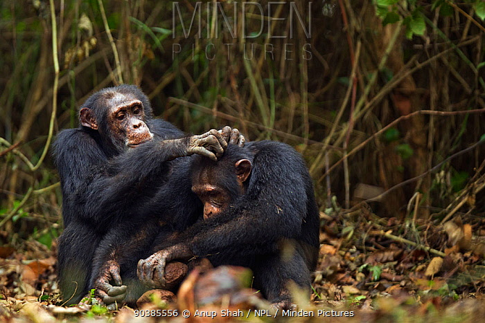 Western chimpanzee (Pan troglodytes verus) male 'Tua' aged 53 years grooming young male 'Jeje' aged 13 years while he cracks palm oil nuts using rocks as tools, Bossou Forest, Mont Nimba, Guinea December 2010  -  Anup Shah/ npl