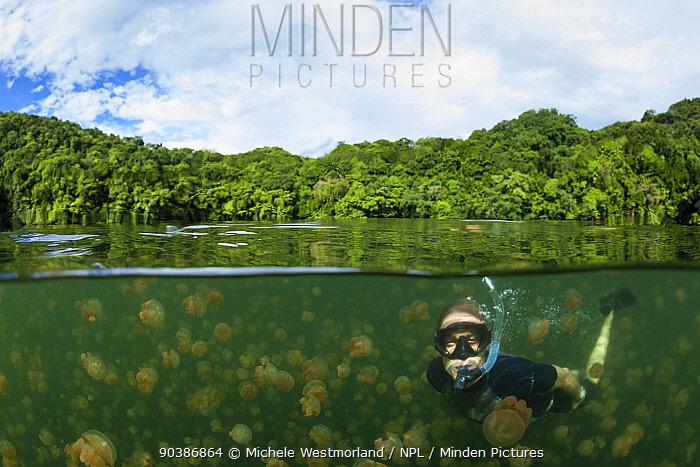 Snorkeler swimming with harmless Jellyfish (Mastigias papua etpisonii), Jellyfish Lake, Rock Islands, Palau, Micronesia model released  -  Michele Westmorland/ npl