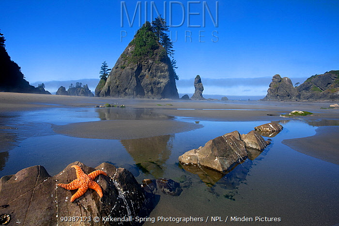 Ochre Sea Star (Pisaster ochraceus) at low tide on Point of the Arches Olympic National Park Washington, USA, August  -  Kirkendall-spring/ npl