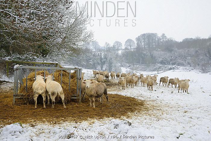 Horn Minden minden pictures stock photos herd of wiltshire horn sheep ovis
