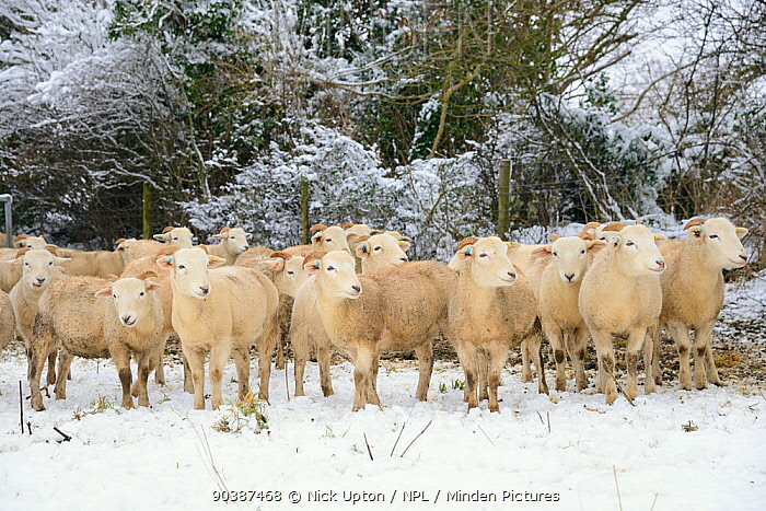 Herd of Wiltshire horn sheep (Ovis aries) on snow covered pastureland, Wiltshire, UK, January 2013  -  Nick Upton/ npl