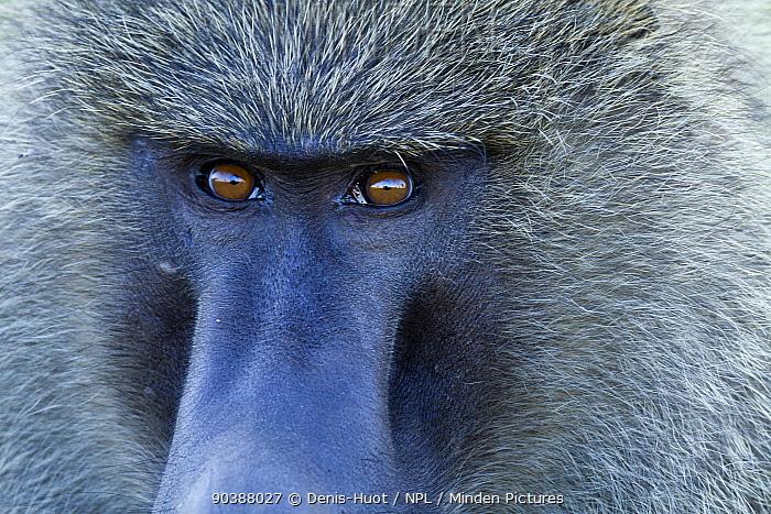 Olive baboon (Papio hamadryas anubis) close-up of a male, Masai-Mara game reserve, Kenya  -  Denis Huot/ npl