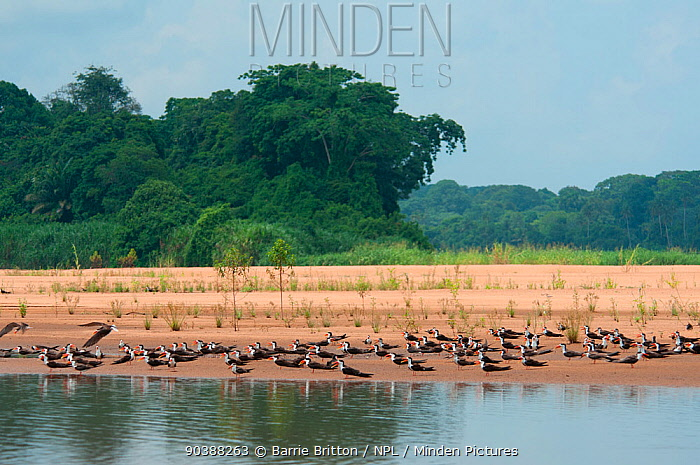 Flock of African Skimmers (Rynchops flavirostris) on the banks of the Sanaga River, Douala-Edea Reserve, Cameroon  -  Barrie Britton/ npl