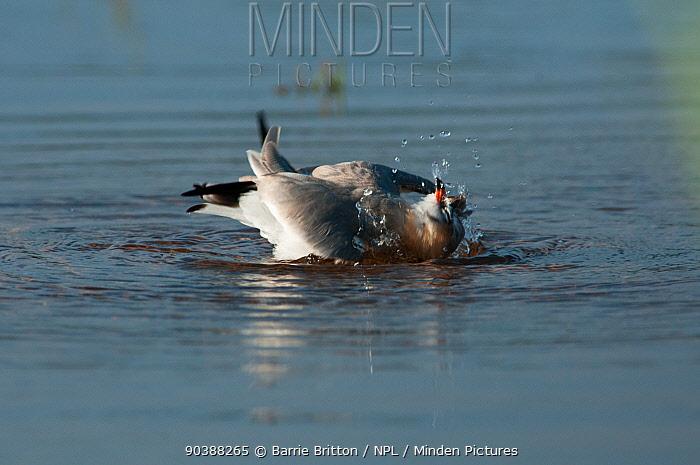 Grey Pratincole (Glareola cinerea) bathing  -  Barrie Britton/ npl