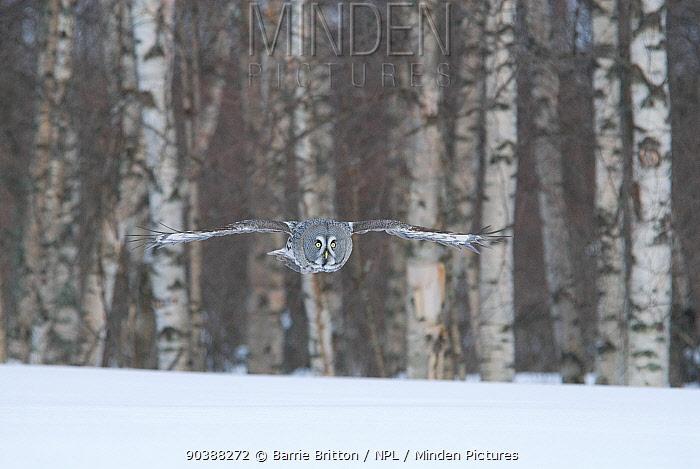 Great Grey Owl (Strix nebulosa) in flight over snow with birch forest behind, Tornio, Finland  -  Barrie Britton/ npl