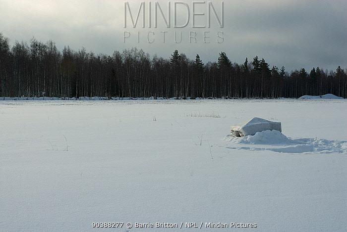 Hide in snow for filming black grouse (Tetrao tetrix) lek in Liminka, Finland  -  Barrie Britton/ npl