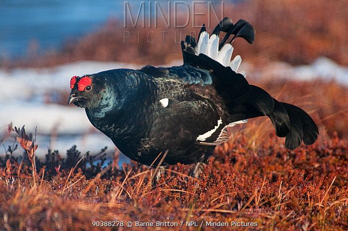 Black Grouse (Tetrao tetrix) male displaying at lek, Liminka, Finland  -  Barrie Britton/ npl