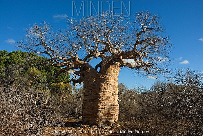 Baobab tree (Adansonia rubrostipa) in Tsimanampetsotsa National Park, Madagascar  -  Barrie Britton/ npl