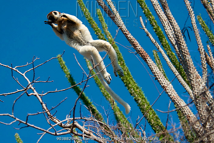Verreaux's Sifaka (Propithecus verreauxi) leaping between trees in Spiny Forest, with Madagascar ocotillo (Alluadudia procera) Ifotaka, Madagascar  -  Barrie Britton/ npl
