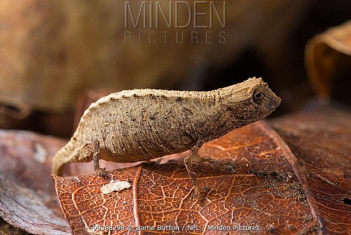Nosy Be Pygmy Leaf Chameleon (Brookesia minima) female, world's smallest reptile  -  Barrie Britton/ npl
