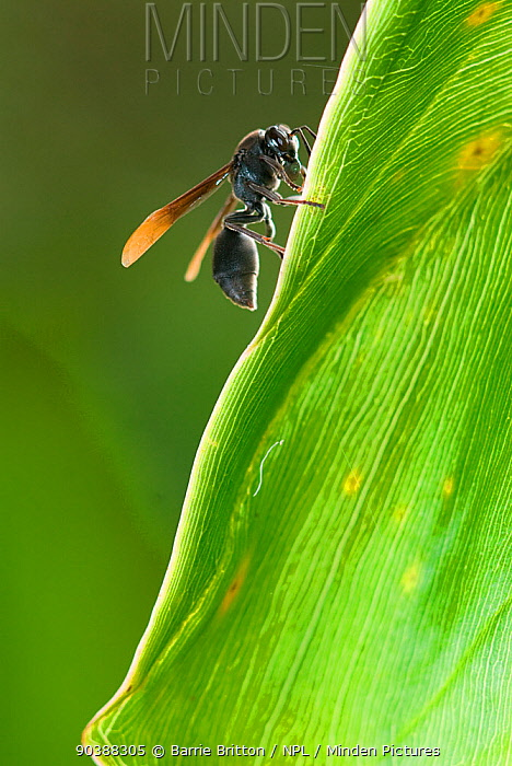 Wasp (Ropalidia species) which attacks tadpoles Association Mitsinjo Reserve, Andasibe, Madagascar  -  Barrie Britton/ npl