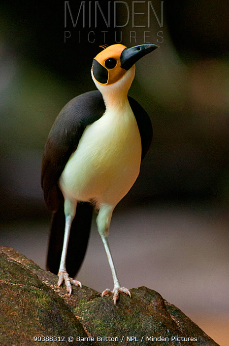 Yellow-headed Picathartes, White necked rockfowl (Picathartes gymnocephalus) Kambui Hills, Sierra Leone, Vulnerable species  -  Barrie Britton/ npl