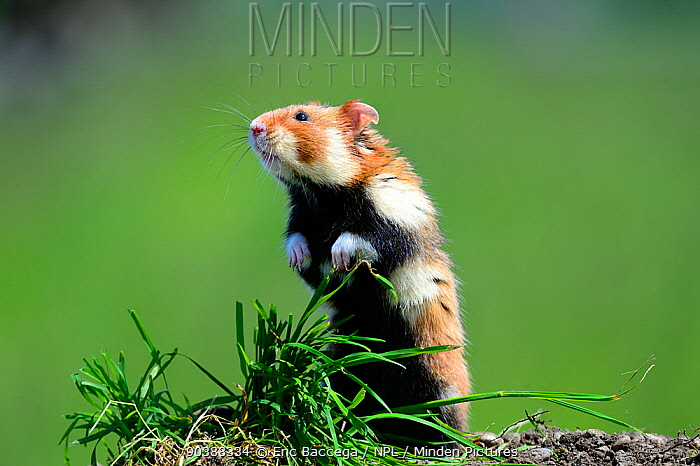 Common hamster standing (Cricetus cricetus) Alsace, France, captive  -  Eric Baccega/ npl