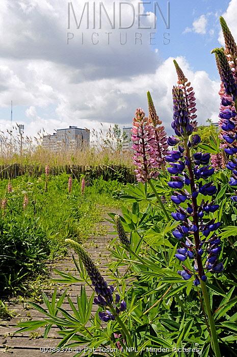 Wild Perennial Lupin (Lupinus perennis) Gillespie Park Local Nature Reserve an urban ecology park with tower blocks in background, Highbury, London Borough of Islington, England UK  -  Pat Tuson/ npl