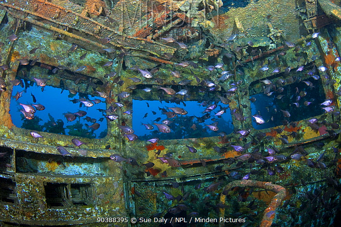 Shoals of fish inside the bridge of the wreck of HMNZS Canterbury, Bay of Islands, New Zealand, January 2013  -  Sue Daly/ npl