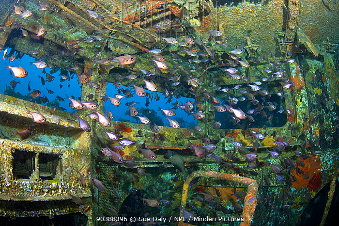 Shoaling fish inside the bridge of the wreck of HMNZS Canterbury, Bay of Islands, New Zealand, January 2013  -  Sue Daly/ npl