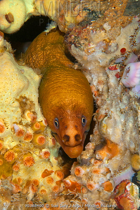 Yellow Moray Eel (Gymnothorax prasinus) with head poking out of hole, Poor Knights Islands, New Zealand, January  -  Sue Daly/ npl