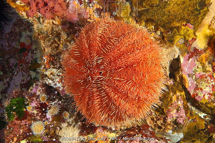 Sea Urchin (Trypneustes gratilla) Poor Knights Islands, New Zealand, January  -  Sue Daly/ npl